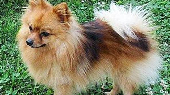 Un volpino il cane ucciso dalle polpette avvelenate for Cane volpino