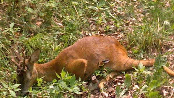 Ammazza a calci un capriolo ferito denunciato 17enne for Capriolo animale