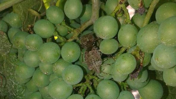 Cimice asiatica allarme anche nel vicentino vicenza for Cimice marrone