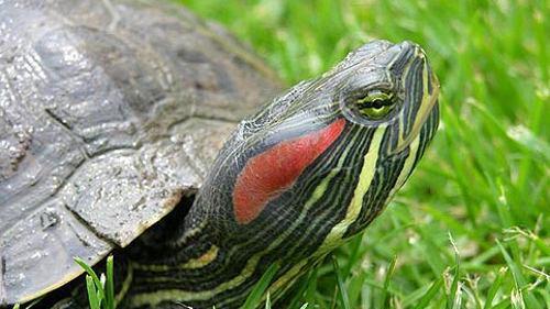 La tartaruga dalle guance rosse va denunciata news for Tartaruga orecchie rosse prezzo